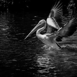 Landed by Reza Haryono - Black & White Animals ( motion, bird, pelican, black and white, wildlife,  )