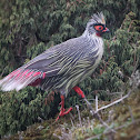 Blood Pheasant