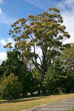 Photo: Eukalyptus