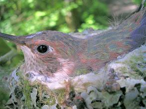 Photo: Rufous Hummingbird chick ten days later