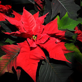 Christmas Flowers by Patricia Phillips - Flowers Flower Arangements ( flowers red christmas pointsettias )