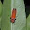 Red Leafhopper