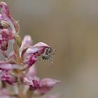 Fragrant bug orchid