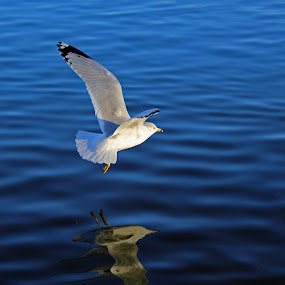 Seagull Reflection by Jim DeMicco - Animals Birds ( water, flying, reflection, seagull )