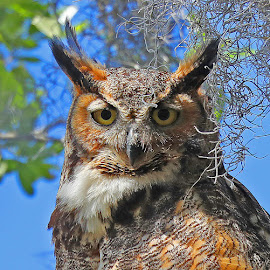 Great Horned Owl by Anthony Goldman - Animals Birds ( predator, owl, nature, florida, bird, great horned, safety harbor, female, wild, wildlife,  )
