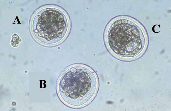 Evaluation of bovine embryos [IETS Manual].
