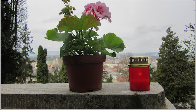 Photo: Mușcată (Pelargonium) - din Cimitirul Crestin Central - 2018.04.07