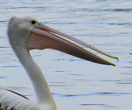 Photo: Year 2 Day 166 - Pelican in Merimbula