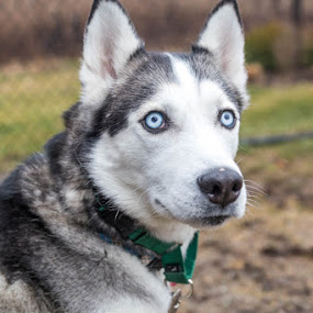 Husky by Michele Williams - Animals - Dogs Portraits ( blue, adopt, rescue, ears, husky, dog, eyes )