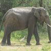 Sri Lankan Elephant (tusker)