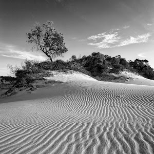 Tree on the Dunes.jpg