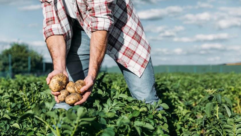 Un agricultor recoge la cosecha de patatas.