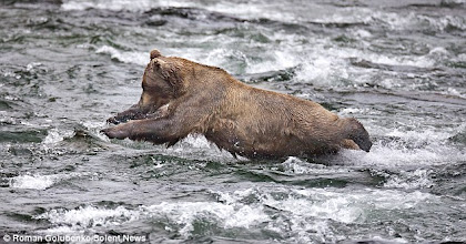 Photo: Young hungry Alaskan Grizzly taking a chance on catching a salmon!