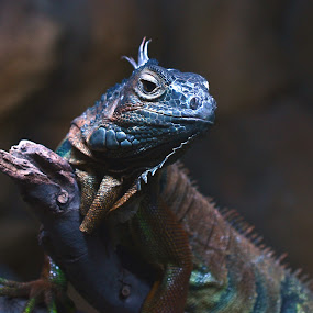 IGUANA by Avi Chatterjee - Animals Reptiles ( reptiles, lizard, stock, zoo, iguana )