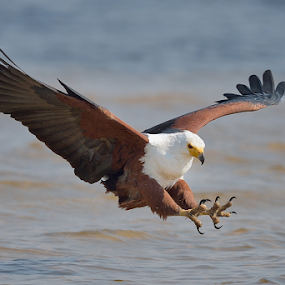 Incoming! by Neal Cooper - Animals Birds ( eagle, african fish eagle, fishing, africa, catching )
