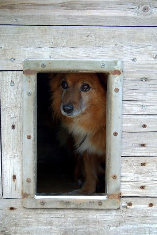 Dach budy dla psa może być płaski albo dwuspadowy; wybór zależy od gustu właściciela.