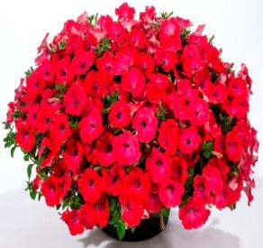 Image result for petunia good and plenty pomegranate