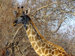 Photo: A beautiful giraffe was spotted whilst out on a game drive.