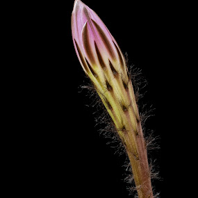 Potential by Chloe Tatum - Nature Up Close Flowers - 2011-2013 ( defined, furry, unusual, bud, flower, large, cactus )