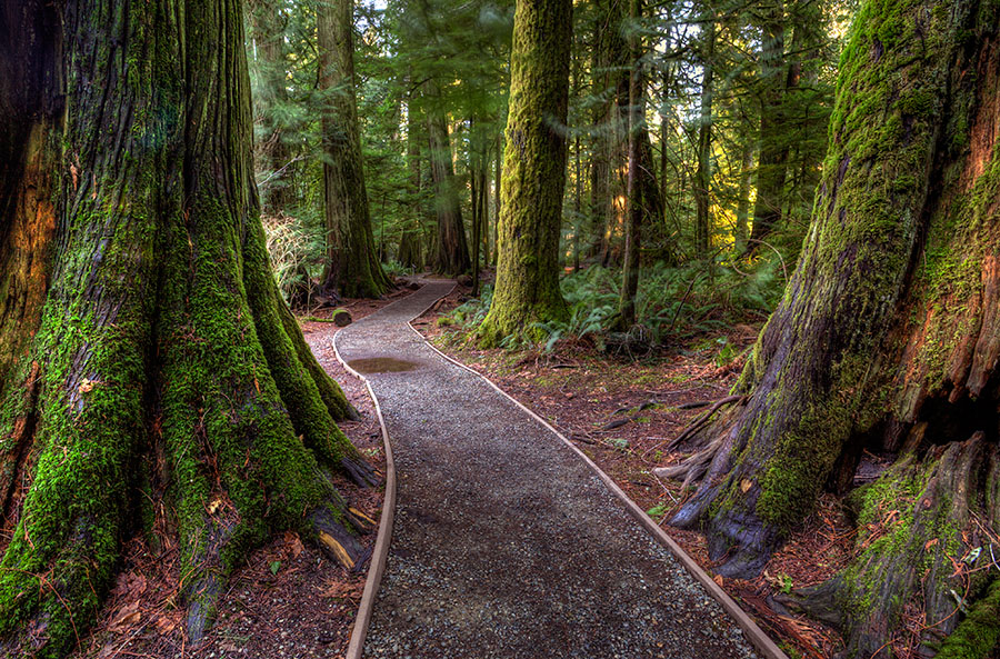 Dominate Forces by Don Guindon - Landscapes Forests ( cedar trees, provincial park, park, vancouver island, trail, path, forest, pwcpaths )