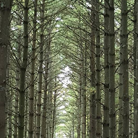 Line of Trees by Suzette Christianson - Landscapes Forests (  )