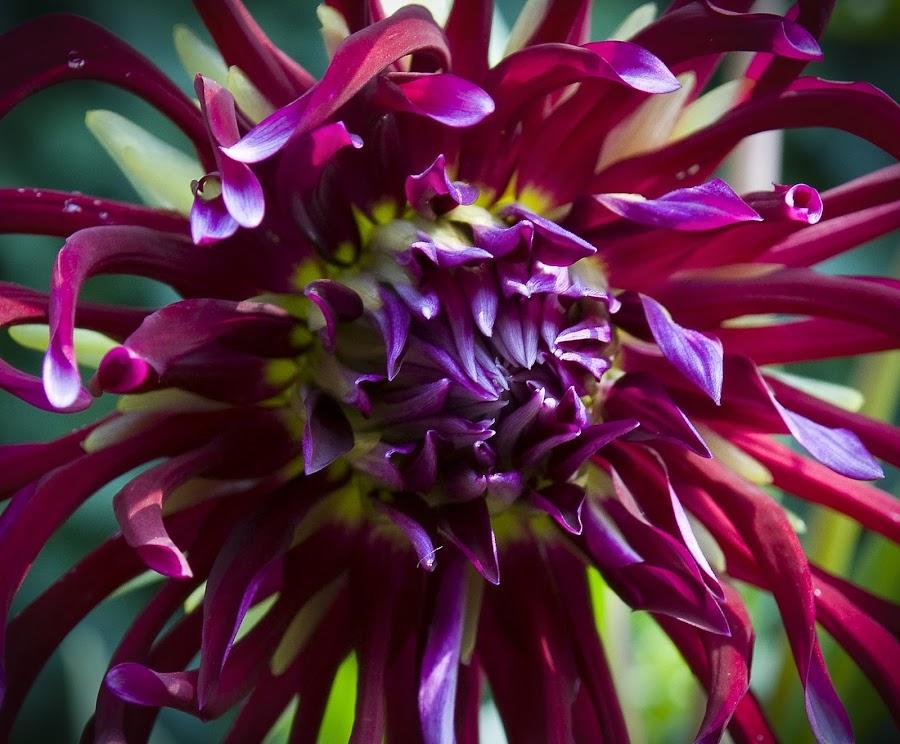 Magenta Dahlia by Tanya Snyman - Nature Up Close Flowers - 2011-2013 ( red, magenta, purple, dahlia, flower )