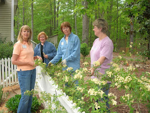 Photo: Ann, Judy, Christine and Carol Admire Our Lady Banks Rose