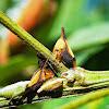 Soldadinho - Membracidae