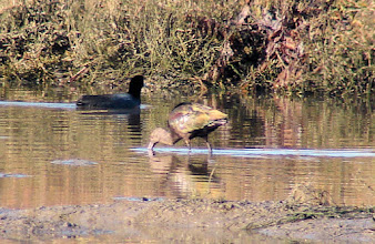 Photo: White-faced ibis - San Elijo Lagoon