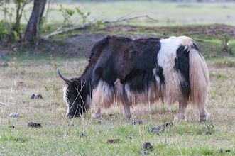 Photo: Yak grazing