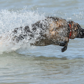 by Peter Marzano - Animals - Dogs Playing