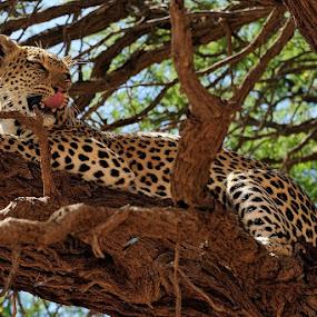 What's on the menu? by Bostjan Pulko - Animals Lions, Tigers & Big Cats ( leopard )