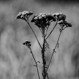Frost  by Todd Reynolds - Black & White Flowers & Plants