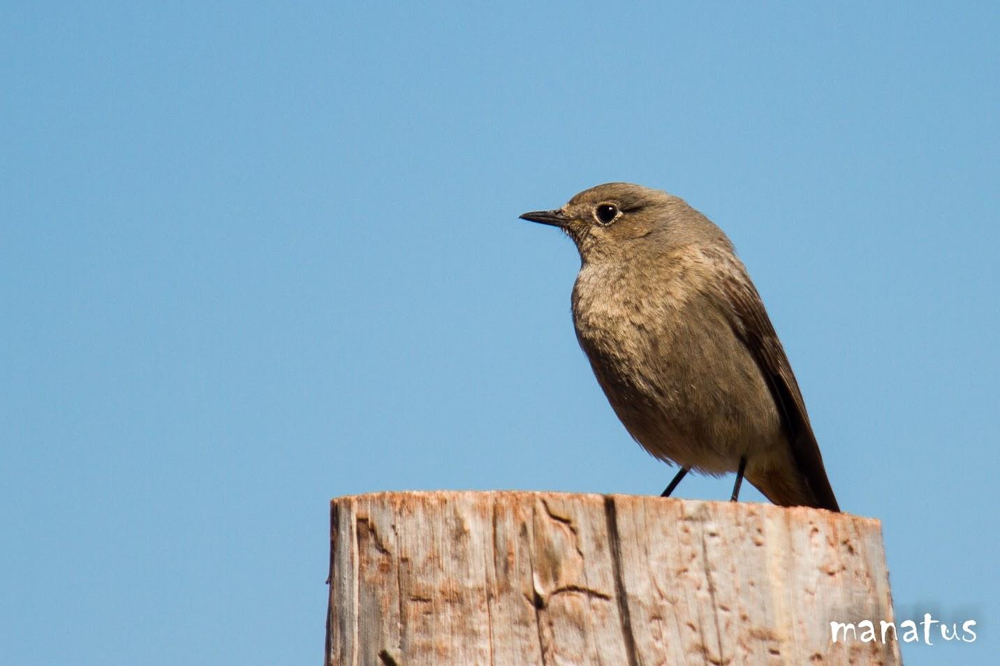 manatus pájaro