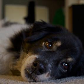 Sleepy Eyebrows by Jazzi Zuppan - Animals - Dogs Portraits ( border collie, sleepy, eyebrows, cute, dog, portrait, pwc84 )