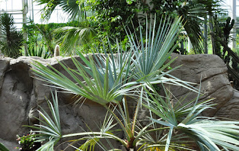 Photo: Brahea armata - Glasshouse RHS gardens Wisley