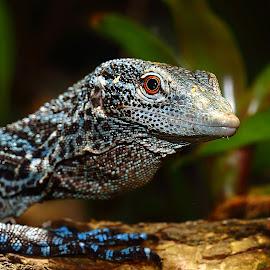 Varan bleu by Gérard CHATENET - Animals Reptiles