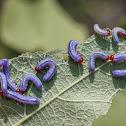 Mallow Sawfly (larvae)