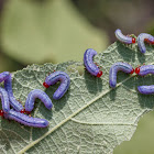 Sawfly (larvae)