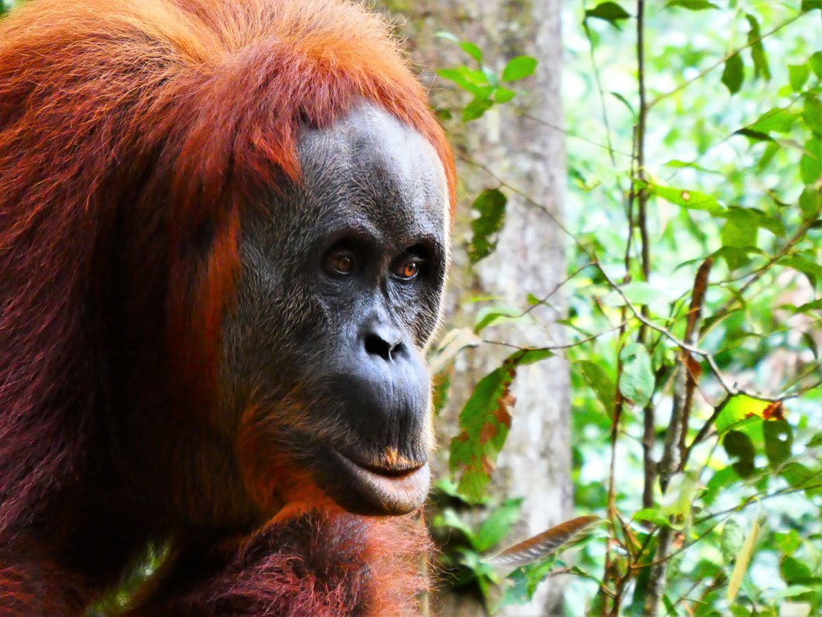 Best Trekking Asia // Orangutans Bukit Lewang Jungle Indonesia