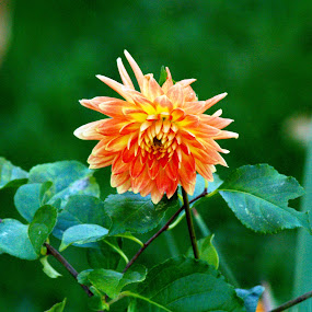 Orange bloom by Jessie Dautrich - Flowers Single Flower ( orange, fall, yellow, pretty, flower,  )