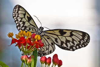 Photo: The Paper Kite (Idea leuconoe) butterfly is native to Asia. Don Williamson Photography