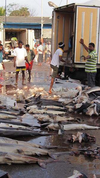 Photo: שוק הדגים בקולומבו. מורידים כרישים ממשאית קירור.
