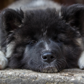 Sleepy Maya by Suzana Svečnjak - Animals - Dogs Puppies ( puppy, american akita, dogs, sleeping )