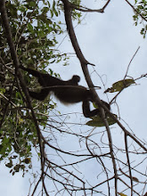Photo: Howler monkey with baby on board