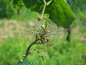 Photo: Mączniak rzekomy - objawy na jagodach