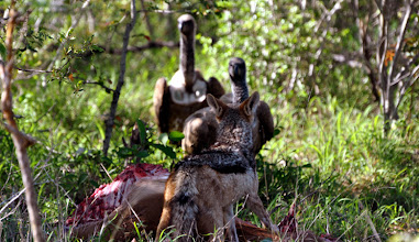 Photo: Jackal with Stolen Impala Kill at &Beyond Ngala Private Game Reserve, South Africa