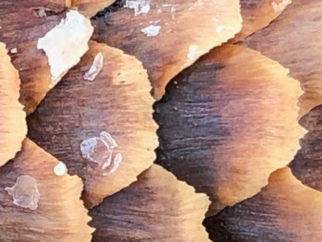 This is a close up photo of an pine cone.