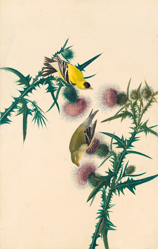 American Goldfinch (Spinus tristis), Study for Havell plate 33