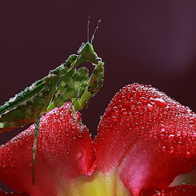 Army Mantis by Awaludin Aw - Animals Insects & Spiders